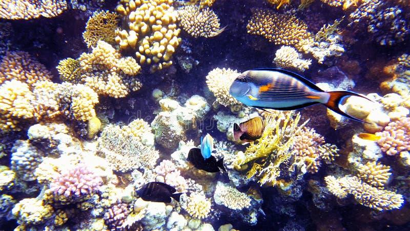 Pescados tropicales y arrecife de coral colorido subacuáticos imágenes de archivo libres de regalías