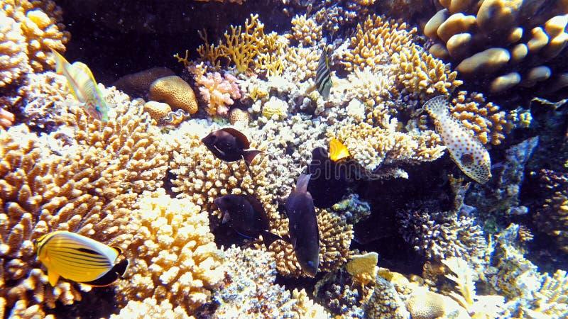 Pescados tropicales y arrecife de coral colorido subacuáticos fotografía de archivo libre de regalías