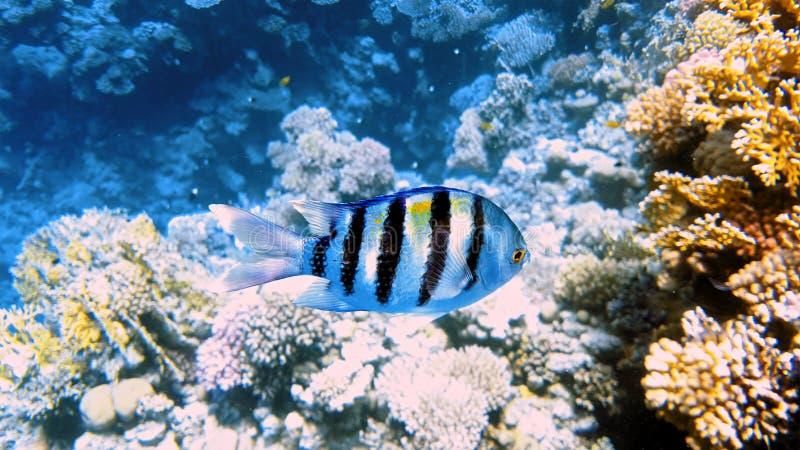 Pescados tropicales y arrecife de coral colorido subacuáticos imagenes de archivo