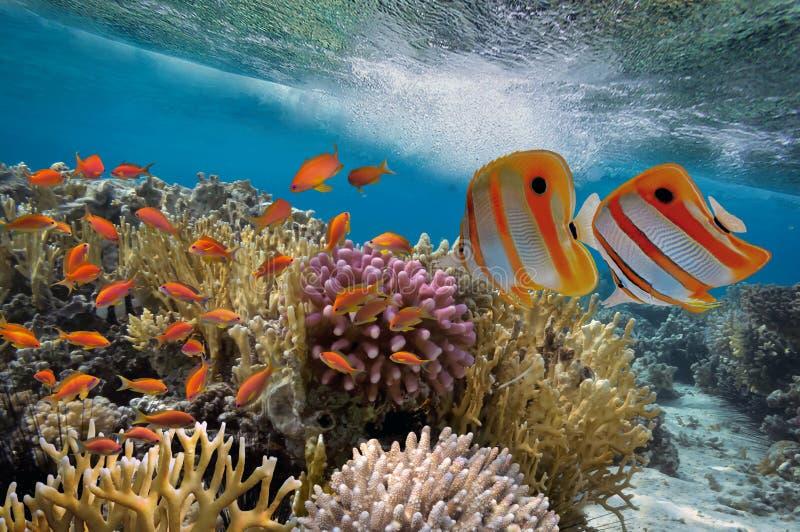 Pescados tropicales y corales duros foto de archivo