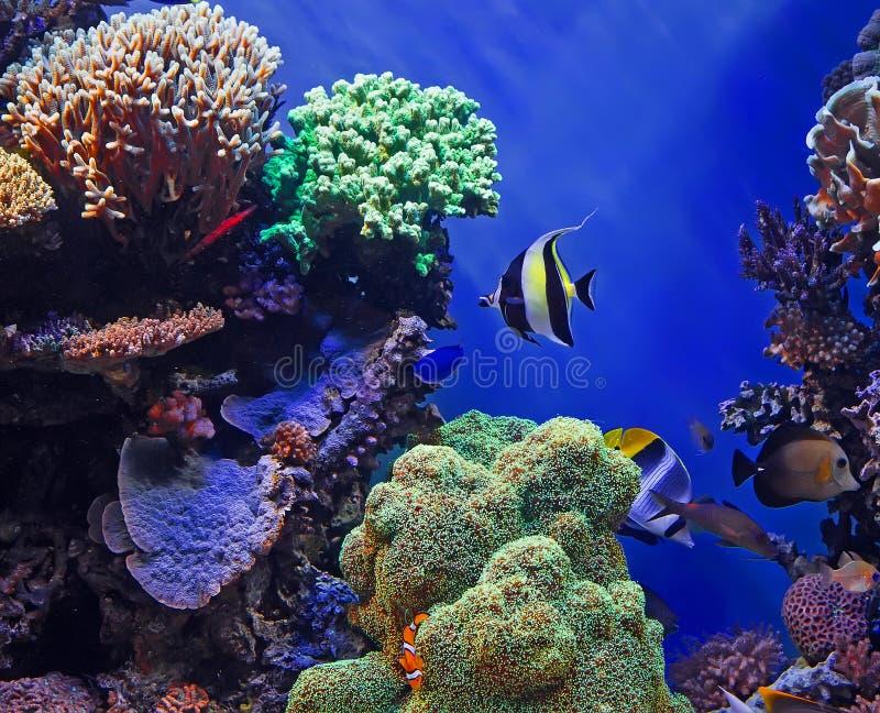 Pescados y arrecife de coral tropicales fotografía de archivo