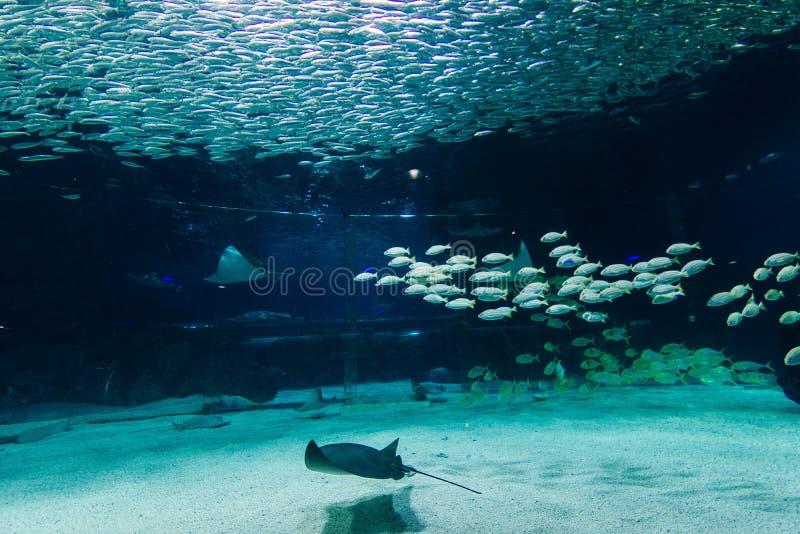 Pescados y pastinacas en un acuario grande fotos de archivo libres de regalías