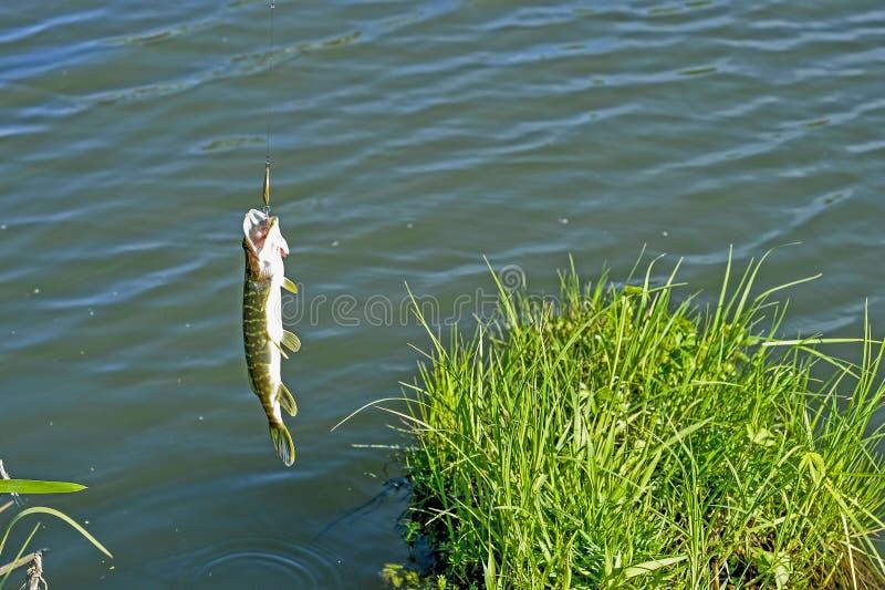 Pescando, il piccolo luccio ha preso il cucchiaio Il concetto del fermo e del rilascio Fondo fotografie stock