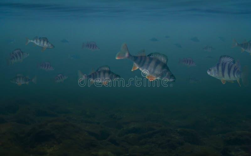Pescando o conceito da vista sob a água da tropa grande de fis da vara foto de stock