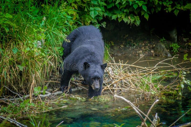 Pescando o urso preto imagem de stock