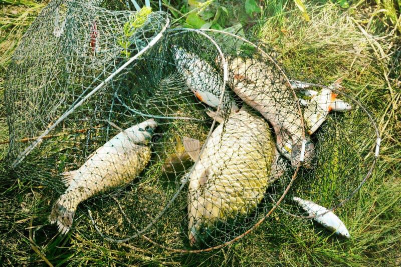 Pescando, pescados de agua dulce crudos en la red para la captura imágenes de archivo libres de regalías