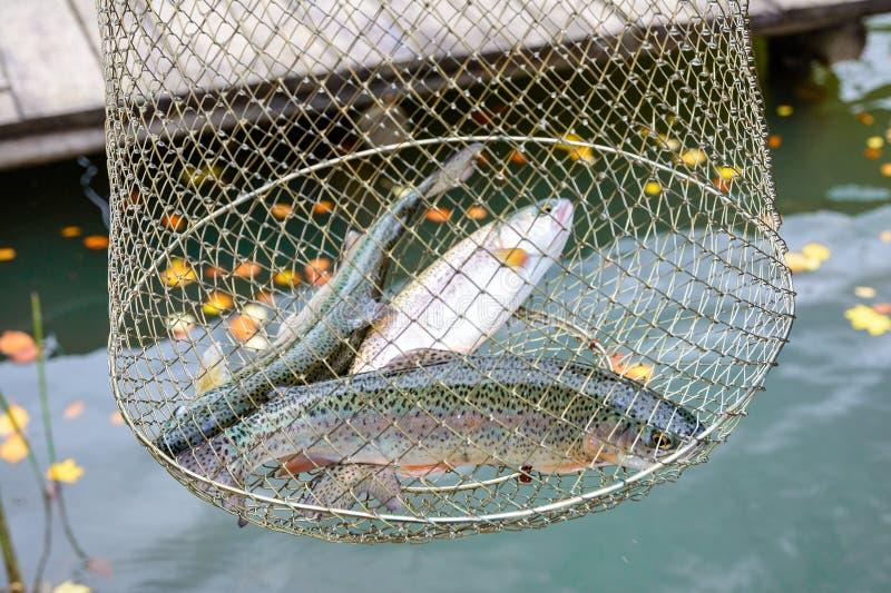Pescando, pescados de agua dulce crudos, trucha arco iris, en la red para imagenes de archivo