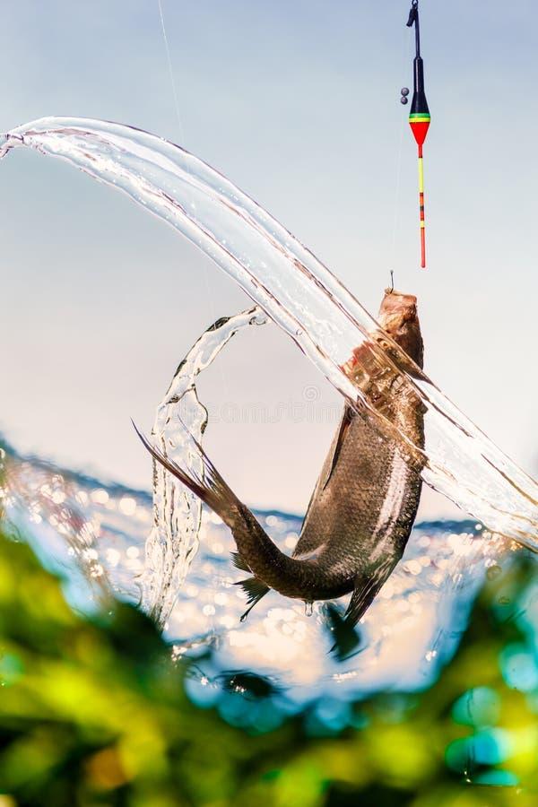 Pescando su un lago in un giorno di estate soleggiato Canne da pesca del galleggiante, orata fotografia stock libera da diritti