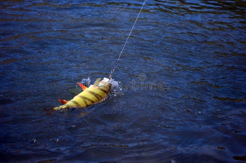 Pescando su un pesce persico fotografia stock libera da diritti