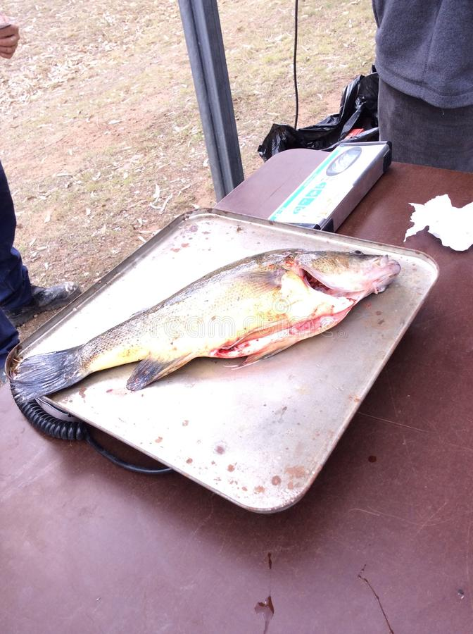 Pesce fotografia stock