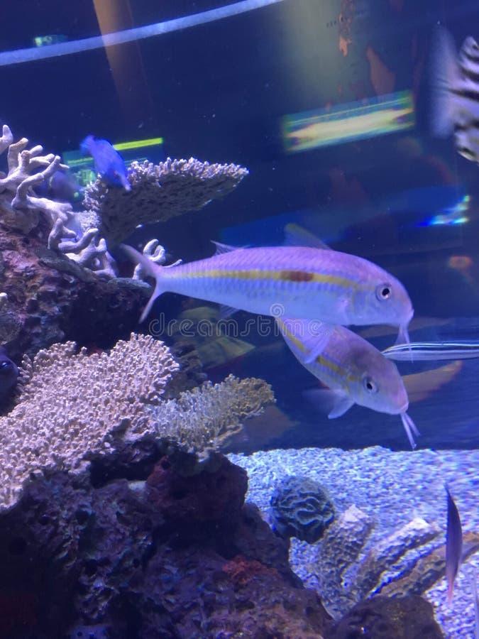 Pesce in acquario con i coralli fotografie stock libere da diritti