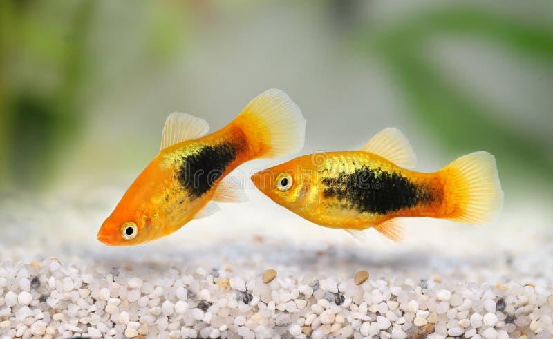 Pesce acquario tropicale di sunburst di platino maschio Xiphophorus variatus fotografia stock