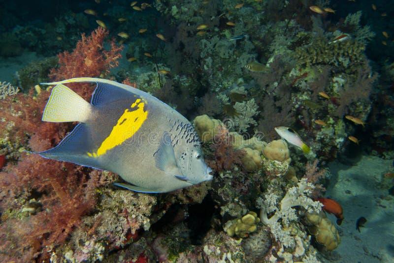 Pesce adulto di angelo dell'imperatore fotografie stock