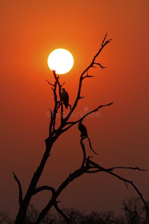 Pesce africano Eagle Silhouettes fotografia stock