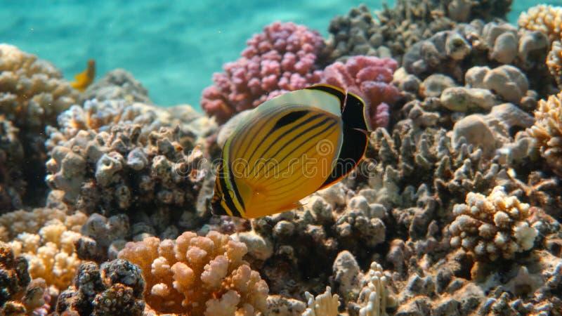 Pesce angelo di Blacktail - austriacus di Chaetodon immagini stock libere da diritti