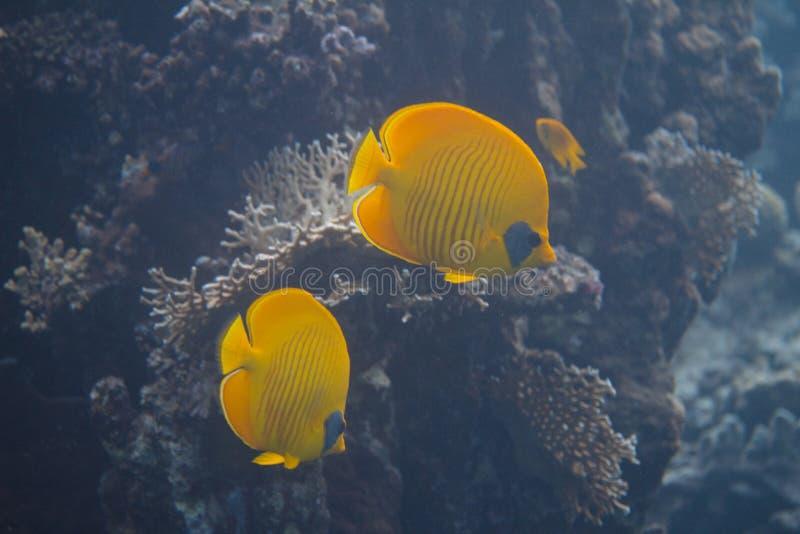 Pesce angelo mascherato in Mar Rosso fotografia stock