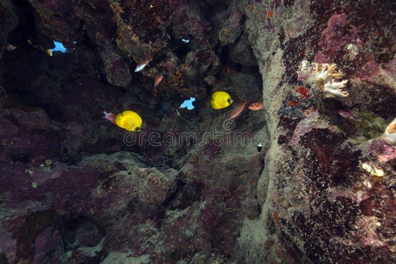 Pesce angelo mascherato sotto un mare del piatto della scogliera in rosso. immagine stock