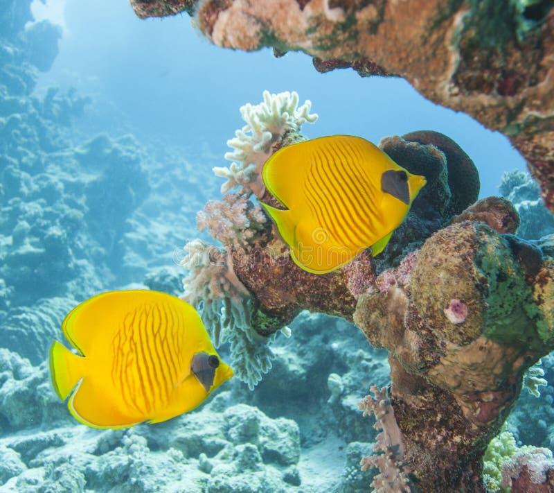Pesce angelo mascherato su una scogliera tropicale fotografia stock libera da diritti