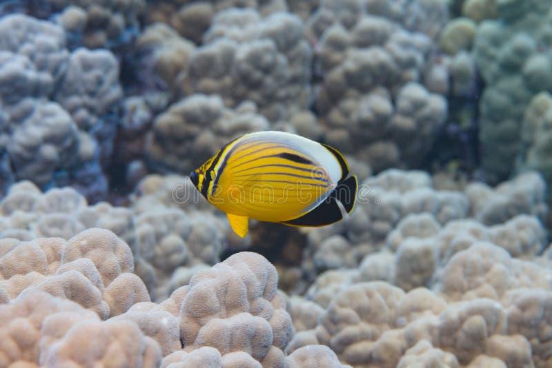 Pesce angelo squisito in Mar Rosso fotografia stock
