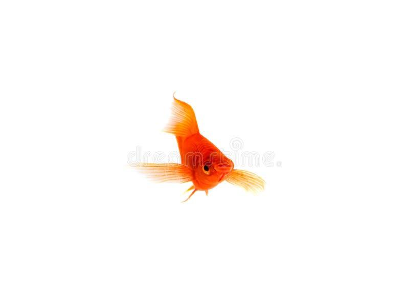 Pesce arancio della Spada-coda isolato su fondo bianco fotografie stock libere da diritti