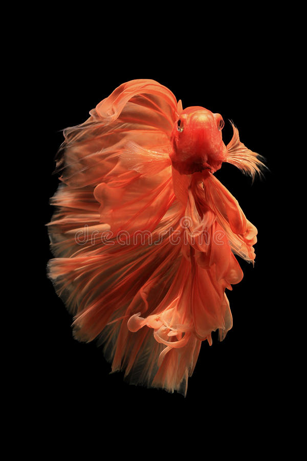 Pesce arancio di betta fotografia stock