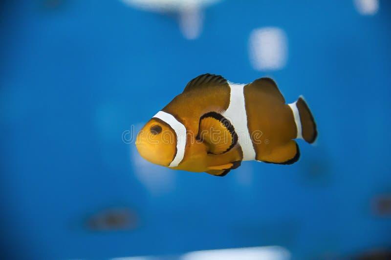 Pesce arancio variopinto del pagliaccio che galleggia all'acquario del Ripley a Toronto Ontario Canada immagini stock