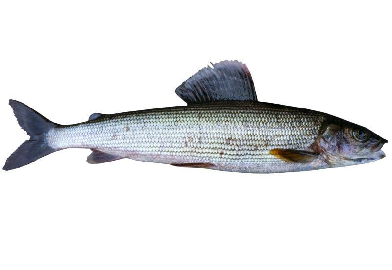 Pesce artico del temolo isolato su fondo bianco E Pesce stupefacente di sport fotografie stock libere da diritti