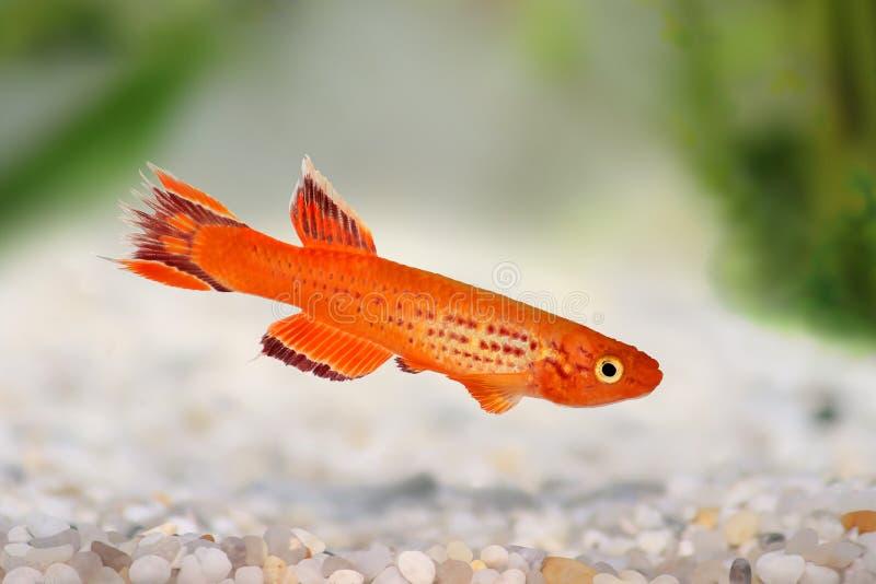 Pesce australe dell'acquario dell'oro di Killi Aphyosemion Hjersseni immagine stock libera da diritti