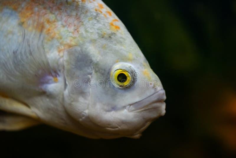 Pesce bianco in primo piano scuro dell'acqua in un acquario immagini stock
