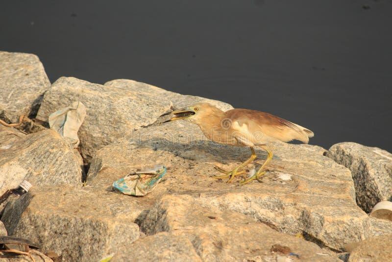 Pesce che mangia airone in un lago inquinante Schifezza, immondizia ed uccelli innocenti e del plastica che doesn& x27; la t sa c immagine stock libera da diritti