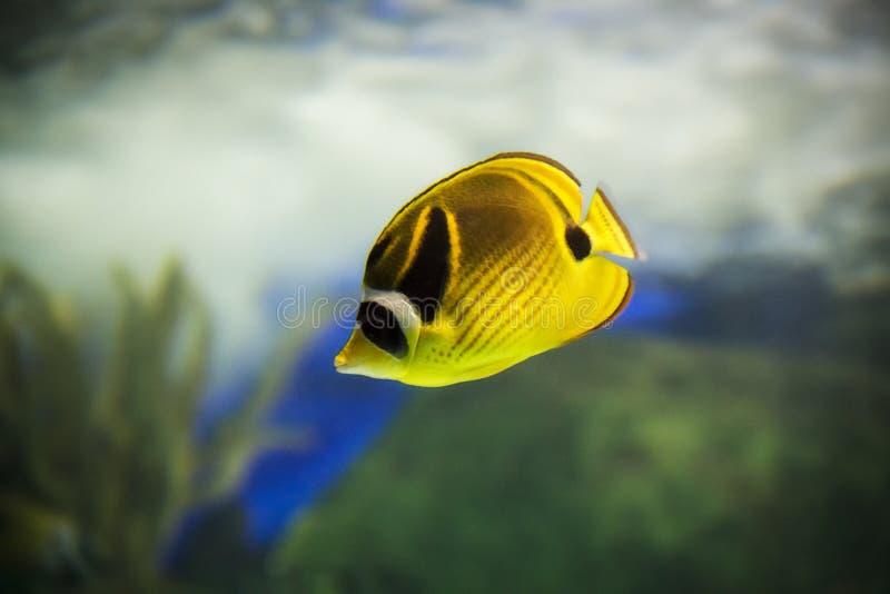 Pesce che nuota all'acquario del Ripley a Toronto Ontario Canada immagini stock libere da diritti
