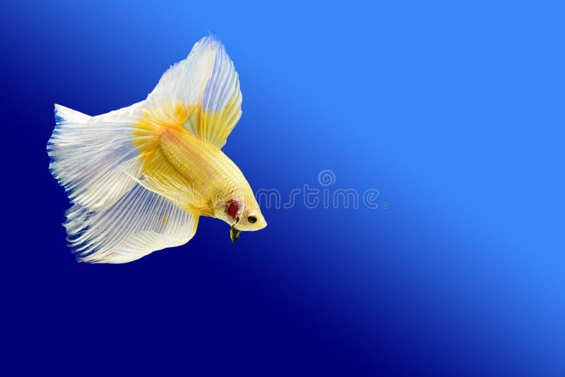 Pesce combattente immagini stock libere da diritti