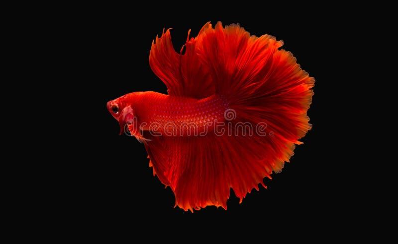 Pesce combattente fotografia stock libera da diritti