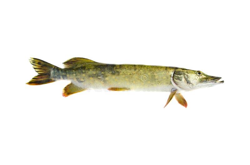 Pesce crudo fresco di esox lucius del luccio isolato su bianco fotografia stock