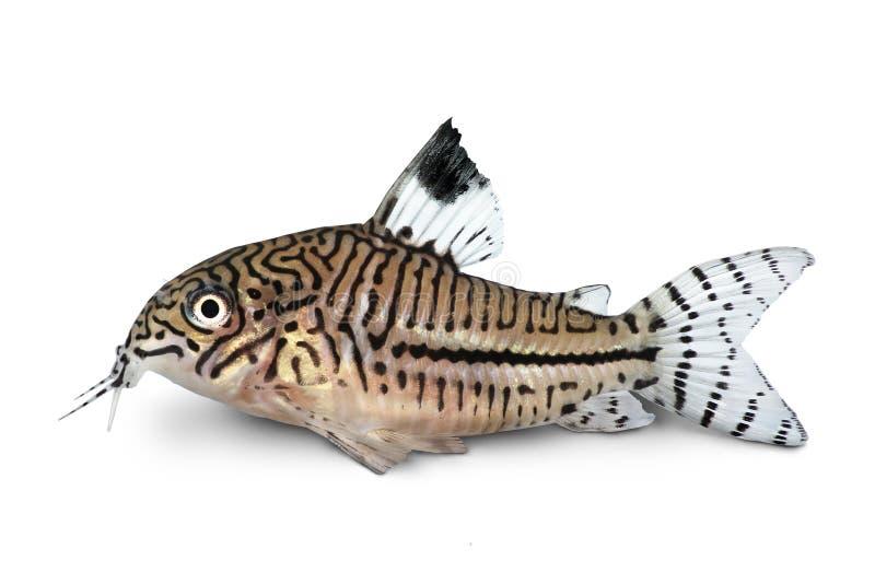 Pesce d'acqua dolce dell'acquario del pesce gatto di trilineatus di Cory Corydoras Julii del leopardo immagine stock libera da diritti