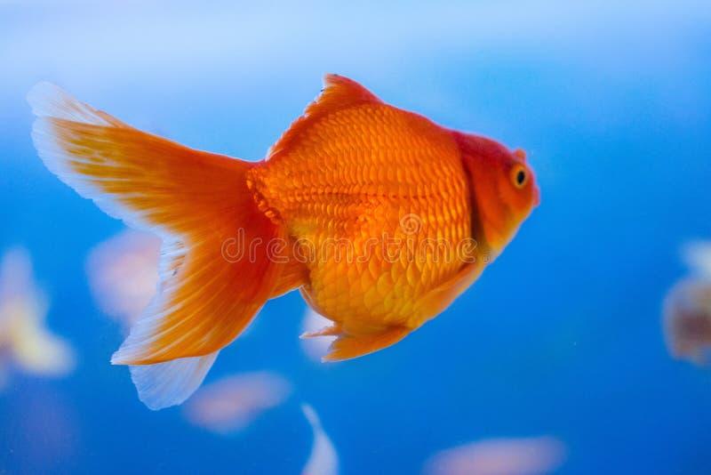 Pesce d'acqua dolce dell'acquario, pesce rosso dall'Asia in acquario, carassius auratus fotografia stock libera da diritti