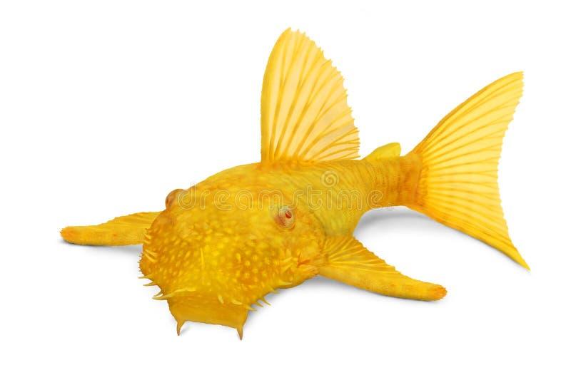 Pesce d'acqua dolce tropicale dell'acquario di Bristlenose di Ancistrus di pleco dell'albino maschio dorato del pesce gatto immagini stock libere da diritti