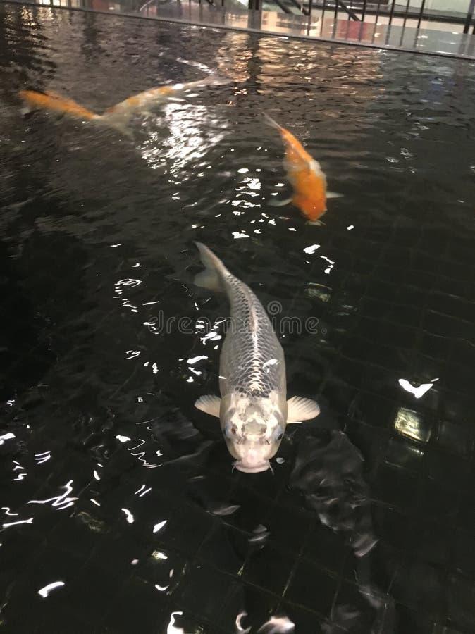 Pesce d'argento immagine stock libera da diritti