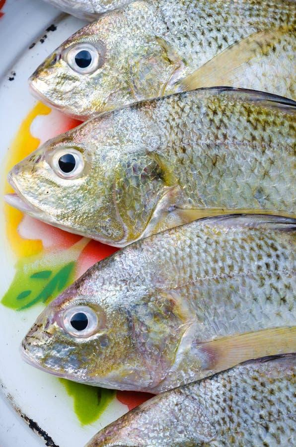 Pesce d'argento allineato fresco di grugnito per cucinare fotografie stock libere da diritti