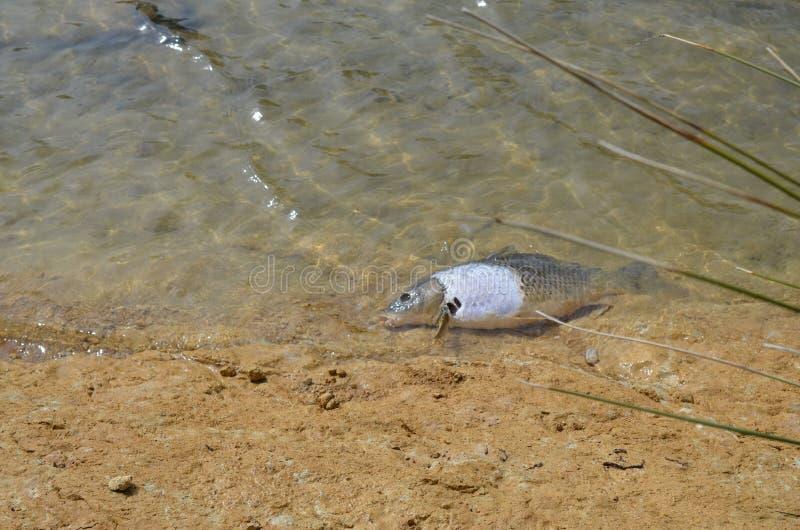 Pesce dei inquinamento-morti dell'acqua immagine stock libera da diritti