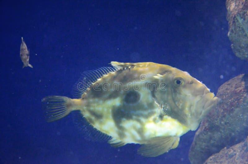 Pesce del gallo fotografia stock