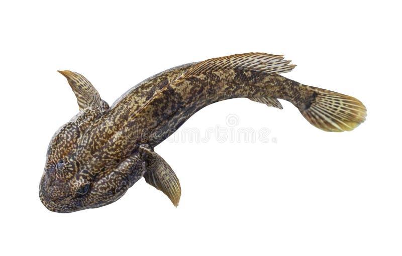 Pesce del pesce gatto, martovik marrone del ghiozzo isolato su bianco fotografia stock libera da diritti