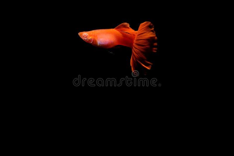 Pesce del Guppy nell'acquario fotografia stock libera da diritti