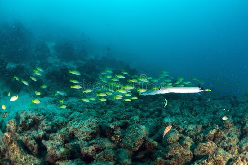 Pesce del lutiano della scuola in Sipadan immagini stock