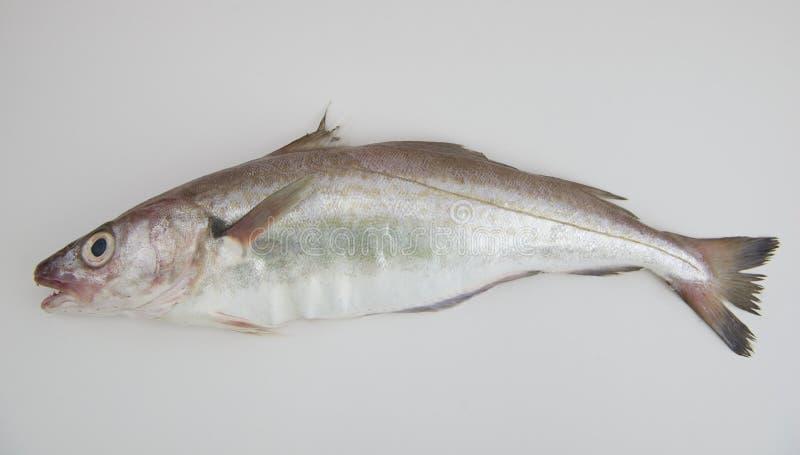 Pesce del merlano fotografia stock libera da diritti