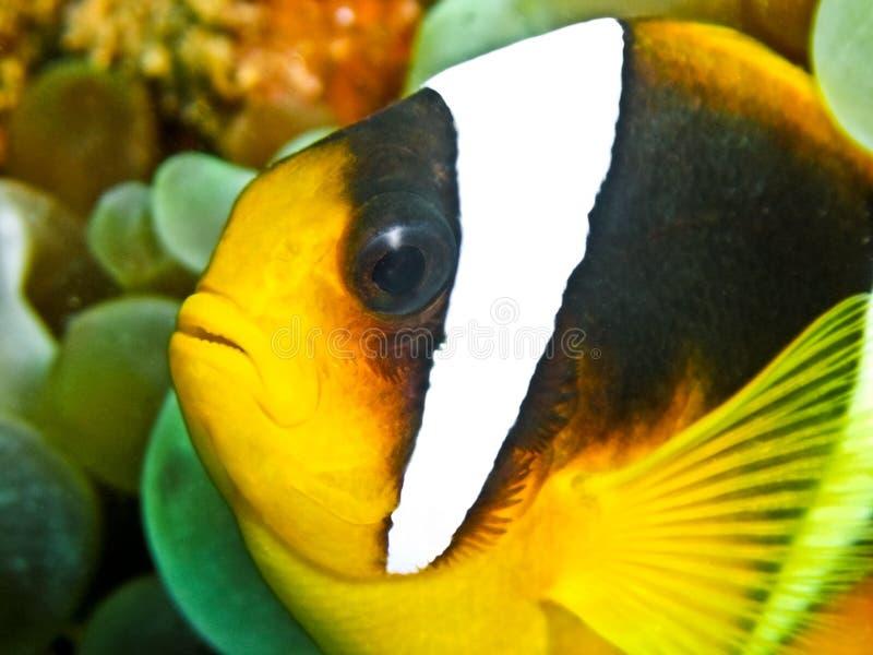 Pesce Del Pagliaccio Fotografie Stock