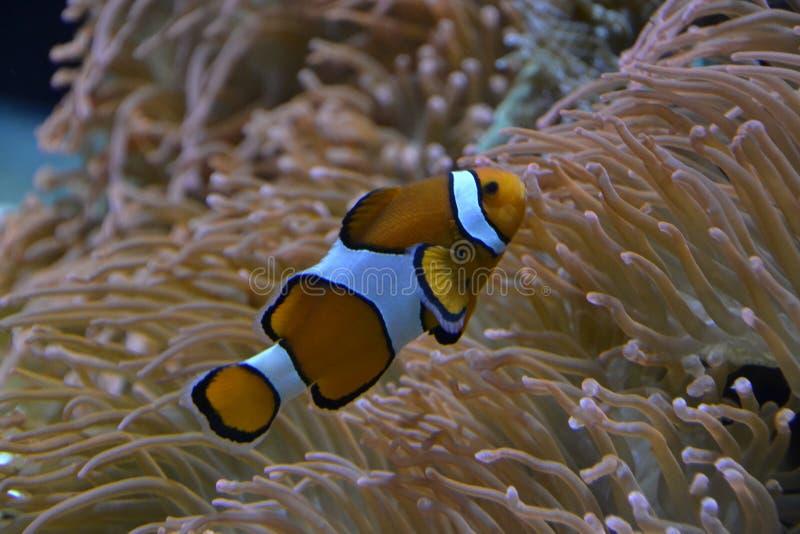 Pesce del pagliaccio nel mare fotografia stock
