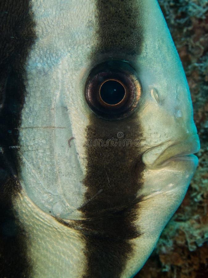 pesce del pipistrello fotografie stock libere da diritti
