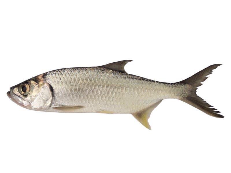 Pesce del tarpone isolato su bianco fotografie stock