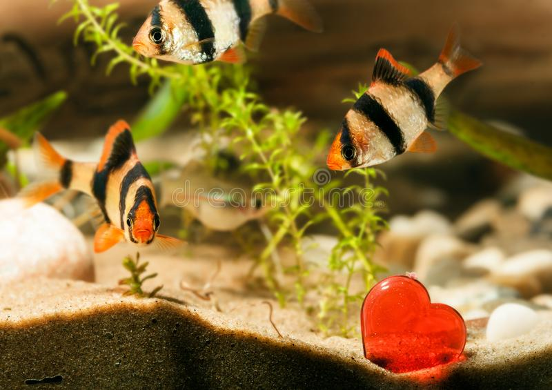 Pesce dell'acquario con cuore fotografia stock libera da diritti